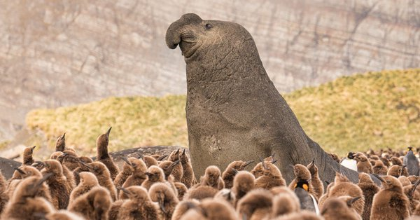 King penguin chicks surround an elephant seal on South Georgia Island. https://t.co/YDba8XkCb8