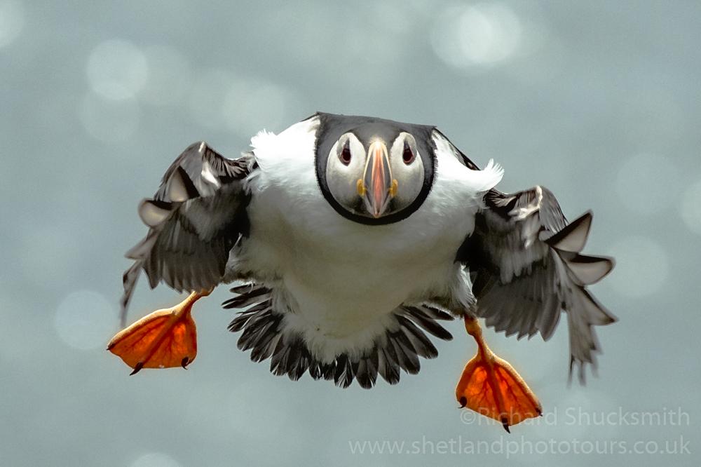 Incoming puffin #Shetland