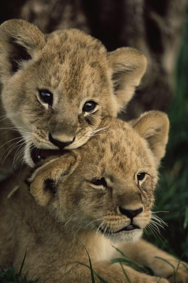 Lion Cubs https://t.co/e7h8ld3sJ9
