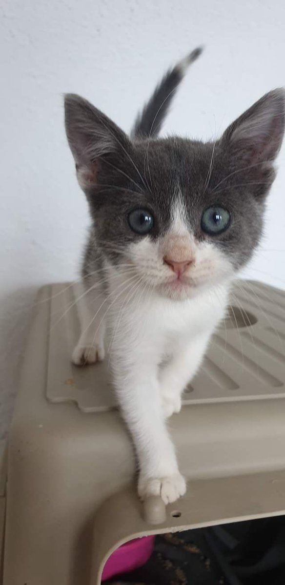 This little girl is very playful and a purr machine. She loves to play with EVERYTHING and is very adventurous. She is looking for a home where she can receive the attention she deserves #AMOS #AMOSShelter #shelterkitten #lookingforahome #AdoptDontShoppic.twitter.com/4xoaB5UnSE