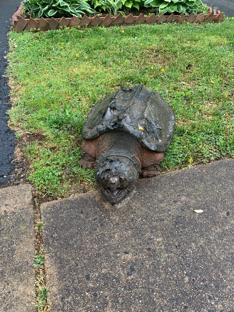Recently, our Animal Protection Police received a call about a large turtle in a residential area of Alexandria. Much to their surprise, it was a 65 lb alligator snapping turtle! Learn more at: https://t.co/RtHz4aJ5qP #FCPD https://t.co/qgYFRmUyMS