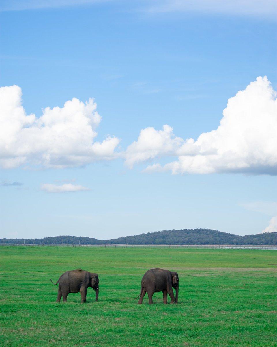 Wasgamuwa National Park #SriLanka  Awarded National Park status in 1984, Wasgamuwa is one of Sri Lankas protected areas where elephants can be seen in large herds. #Travelvlogs #SriLankanElephants #Travel #wildlife #elephantpic.twitter.com/hhB2dY39bl