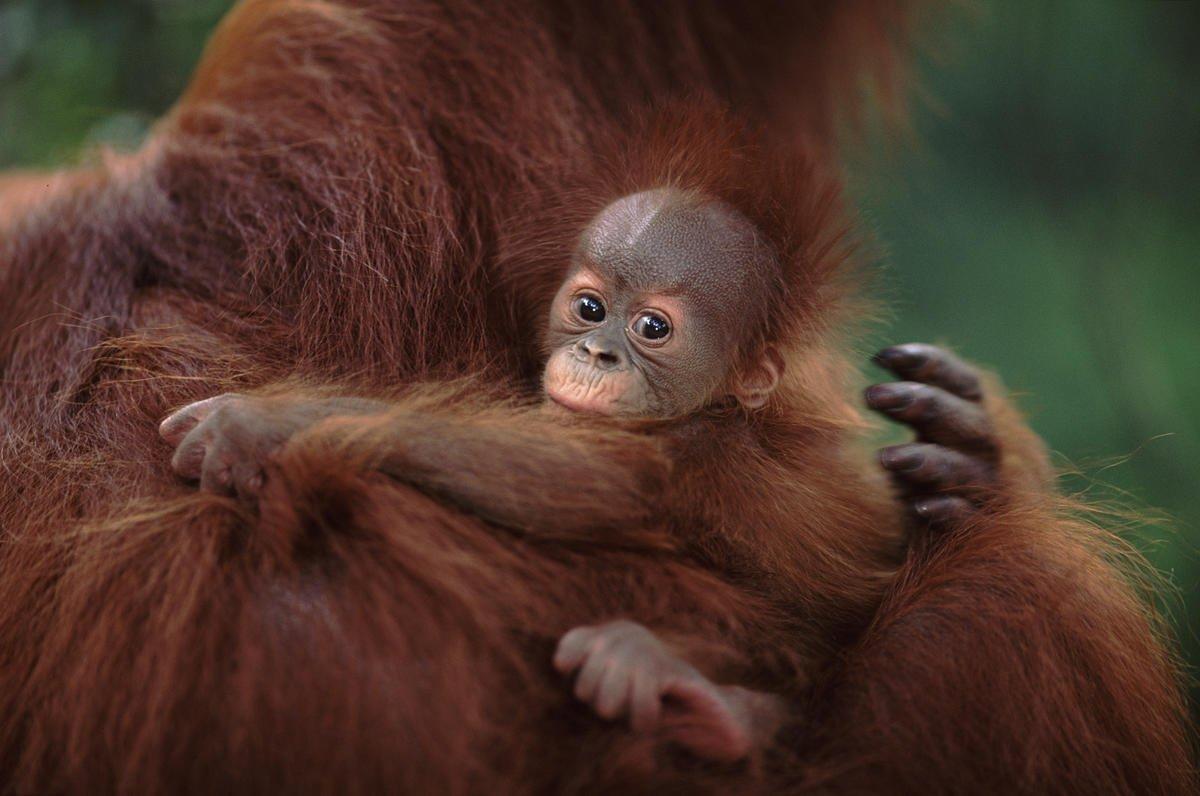 Algoritmi di #machinelearning aiutano il WWF-Indonesia a censire gli oranghi a rischio di estinzione, risparmiare risorse sul campo e migliorare la specificità dei dati raccolti: età, presenze per genere, valutazioni su salute e riproduzione.  https://t.co/nGxcQgXCDn https://t.co/MAJ7E25Yyx