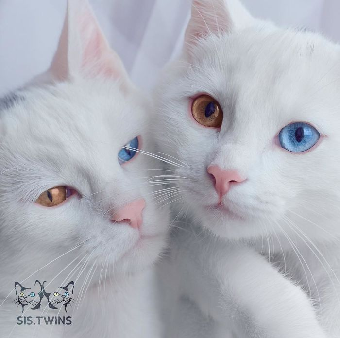 Heterochromeowtic eyes  📸 sis.twins | IG https://t.co/orETksilG4