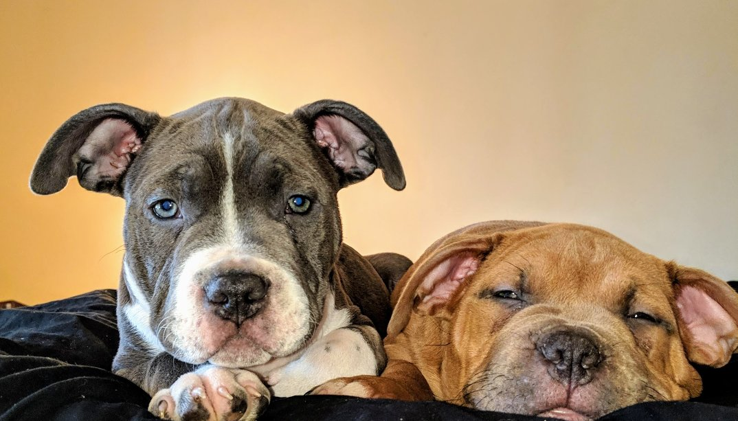 The one on the left is my 50! He is a lot bigger now, this was when he was a pup. The one on the right is his litter mate, Biz. They were so cute! #pitbull #ilovemypit #pitbullmom #pitbullsofinstagram #pitbullsofig pic.twitter.com/onm548WNne