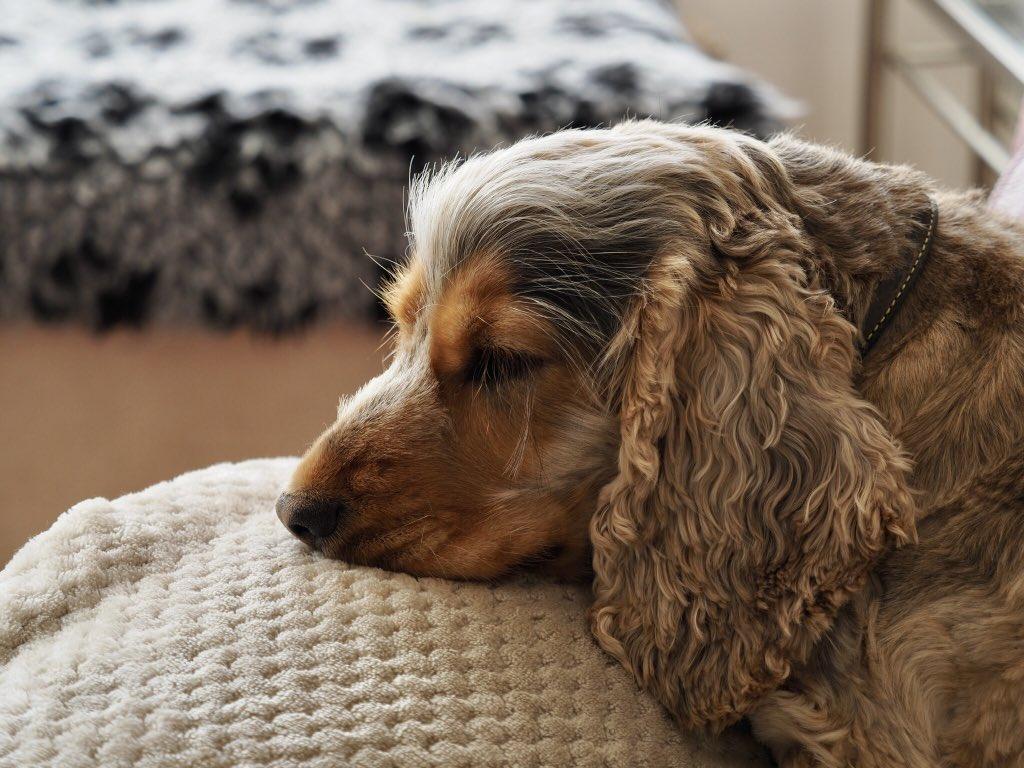 @annahamiltonart That could be my dog's ear 🥰 #Kinsey #EnglishCockerSpaniel https://t.co/Akyf4rtiHT