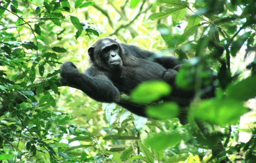 Tour Itinerary: https://t.co/1MOSIlPcHx 7-day Wildlife & Gorillas Tour Country: Uganda Duration:7 Day(s) - 6 Night(s)  You will visit Kibale National park and track the chimpazees and other primates, you will visit Queen Elizabeth National park and enjoy a game drive  #ugandatour https://t.co/weq5D3nldR