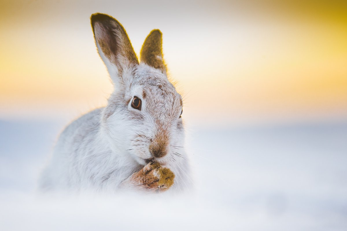 Ahead of todays debate in @ScotParl. Its amazing the petition to protect mountains hares has now reached 20k. Do your bit to help protect these awesome creatures. Please sign and RT to stop the slaughter of these hares greens.scot/protectmountai… @scotgp @AlisonJohnstone