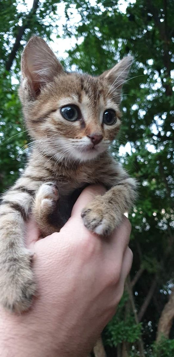 A little girl with the biggest eyes in the world!  She is still quite tiny but will surely grow up to be an elegant lady. Who would like to adopt such a special girl? #AMOS #AMOSShelter #shelterkitten #lookingforahome #animalshelter #AdoptDontShoppic.twitter.com/FKtUmDdADu