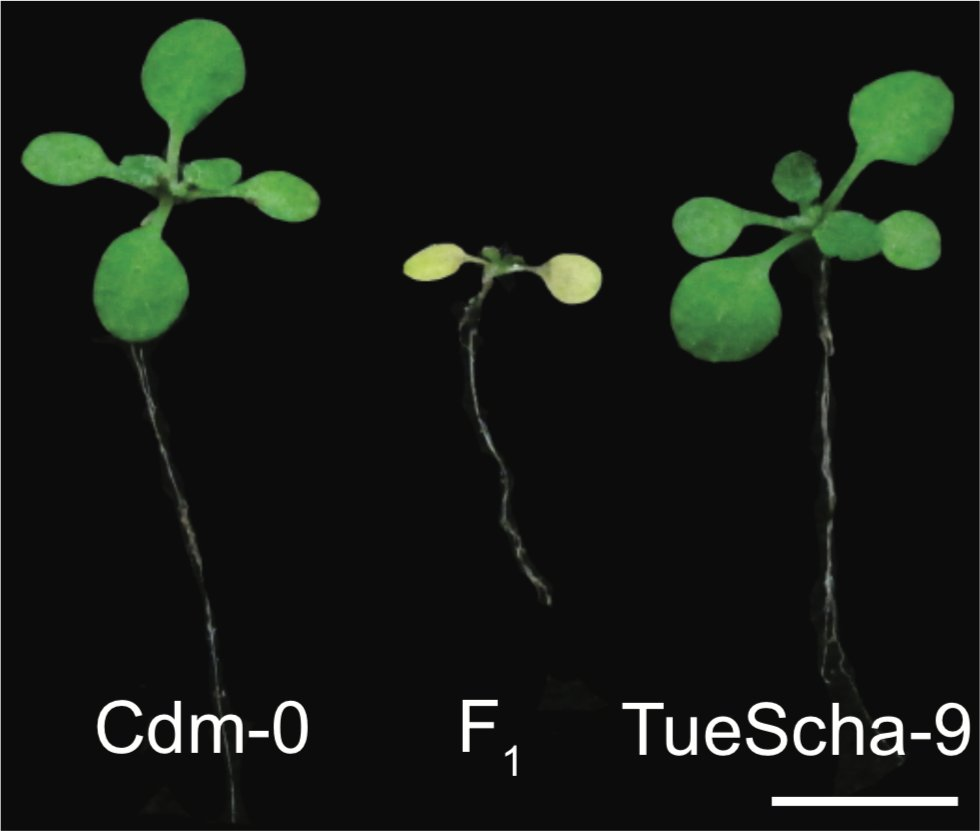[1/8] In this @biorxivpreprint led by @cbarragan91 we looked at an extremely severe case of #hybrid necrosis n #Arabidopsis thaliana: Hybrids die already as seedlings & cannot be rescued by elevated temperature (28°C) #autoimmunity #NoHeterosis https://www.biorxiv.org/content/10.1101/2020.05.18.101451v1 … pic.twitter.com/SoKqQLIpHt