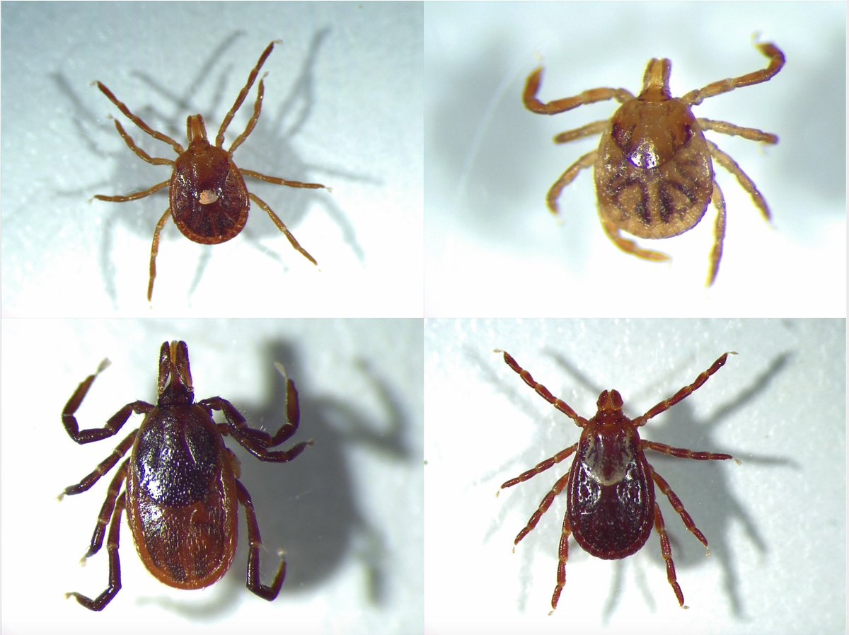 Summer is here, along with the risks of illness from tick bites. A new nationwide survey on tick-borne disease management reveals the most significant roadblocks to creating a uniform, national tick strategy. https://t.co/dxJT2f3bzP @FL_VBDCoE @UF_CLAS @UFVetMed https://t.co/xFPlzfnQBS