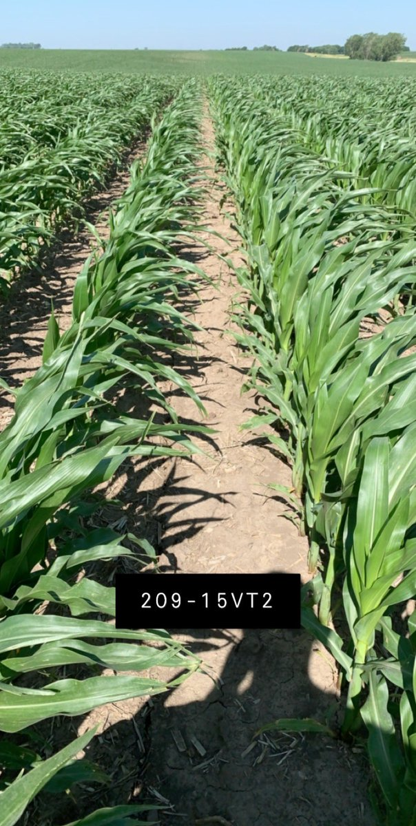 Awesome looking field of @ChannelSeed 209-15VT2P. Corn really taking off, but wonder how much taller it would be if the wind would not have been blowing continuously. Excited to see this in a few weeks after pollination. #letitrain #stopblowingmothernature https://t.co/xYEo6Ma6ww