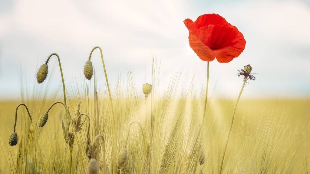 Red in sunny fields  #epiclandscapes #epicfieldday  #epicpicture #epicnature  #topshotoftheday #topshot  #toplandscapes #fields #flower #red #love #free #light #sunrays #sunny  #ccby #creativecommon #freepic #coolfreepix  https://t.co/2IZn17XDaz https://t.co/3jpH6Ty2sM