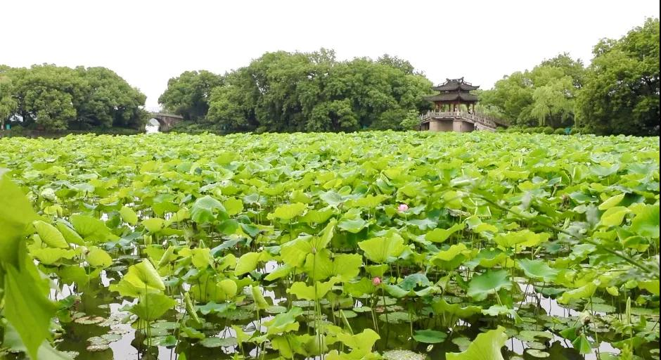 The first wave of lotus has launched in Hangzhou!The blossom seasons are from June to August. The West Lake, Xianghu Lake(Xiaoshan District), Hongyuan Garden in Xixi Wetland, Qiaolin Park(Tonglu), Liye Big Lotus Pond in Daciyan (Jiande) are good places to appreciate the lotus. https://t.co/FQrRrCf4AD
