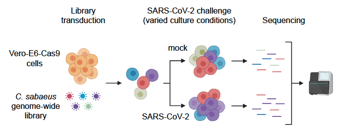 "Thrilled to reveal our pre-print ""Genome-wide CRISPR screen reveals host genes that regulate SARS-CoV-2 infection"" Massive effort by @WilenLab, @johndoench, and generous collaborators. What did we find? #covid19 #CRISPR (1/n) https://t.co/P0LGr4w4Zd https://t.co/xWJFsCrLC2"