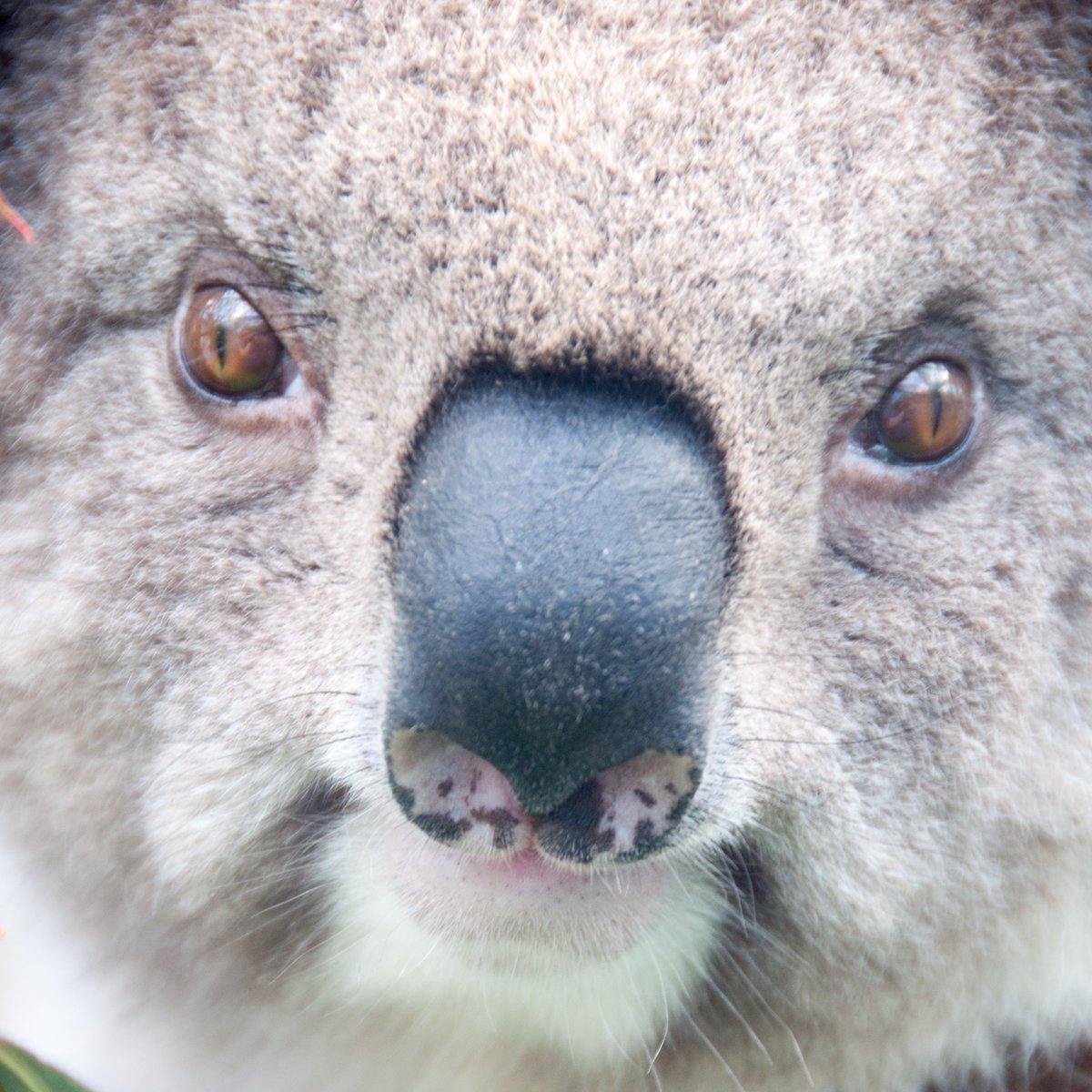We're looking for a postdoc to work on koala physiological ecology and distribution modelling. You'd be working with a great team of people, on an exciting project. Interested? Please get in touch and spread the word https://t.co/AbgJ2sxAPI https://t.co/HUJQtTEccS