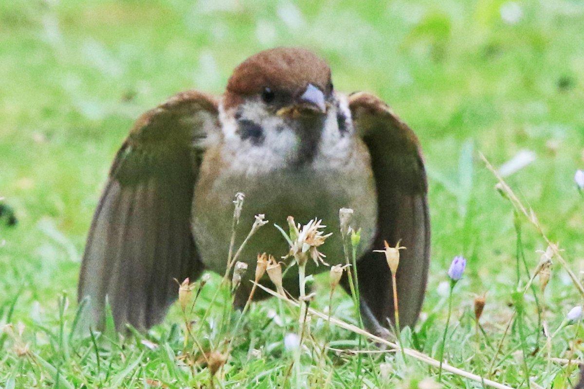 教会の庭の子スズメ。翼を小さく広げた姿が、まるで天使のようです(。・ө・。)