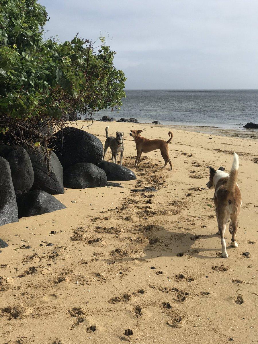 Puppies doing their morning exercises #coconutgrovefiji #fiji #puppies whitesand pic.twitter.com/QjhMOYjTGT