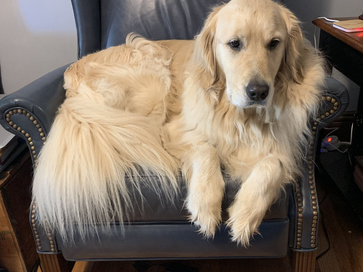 @GoldretrieverUS @WeeWalkingTours #GRC #FluffyButtFriday #DogsofTwittter   Pete and his floof commandeered my chair earlier today!! 😃🤣 https://t.co/oEjWQUcWcU