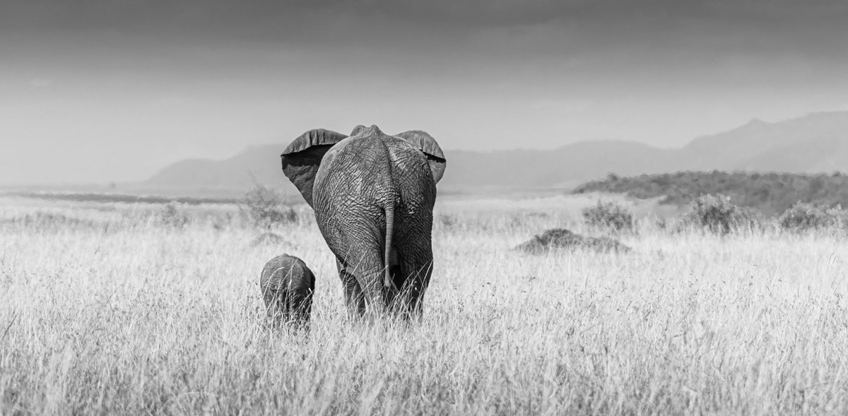 Let the journey begin #masaimara #fineart #kenyatourism #kenya #igkenya #elephantsofinstagram #elephants #horizon #skies #family #motherhood #animals #mothernature #familytime #elephantlover #naturephotography #wildlifephotography #wildlifephotography #natureloverspic.twitter.com/bzr3gJLALb
