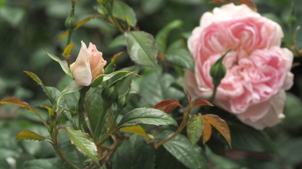 I missed seeing the #roses at the #RHSChelsea Flower Show? So Ive been finding out all about the new #rose introductions from @DAustinRoses: pumpkinbeth.com/2020/07/new-da… #Flowers #Rosa #Garden #Gardening #Plants #Horticulture #Gardens