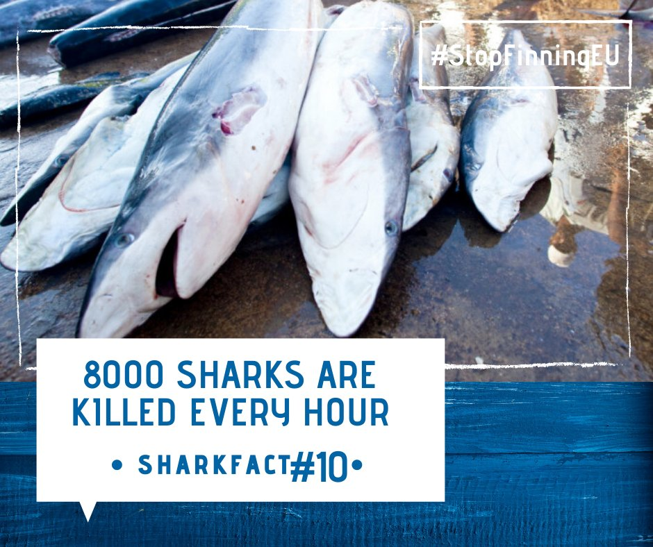 #sharkfact #10: 8000 #Sharks are killed every hour.  The word #finning means to cut #fins of living #sharks.   Help us to stop this terrible act and support our #citizens #initiative #stopfinningEU: http://bit.ly/34CbeSe You can change something! Photo: Sea Sheppardpic.twitter.com/rf97Xr4tNC