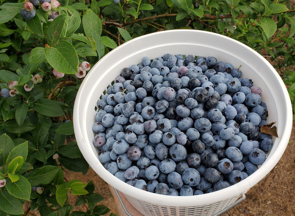 What should I make with these blueberries? #food #fruit #eating #bakingpic.twitter.com/7xqTP22ce2
