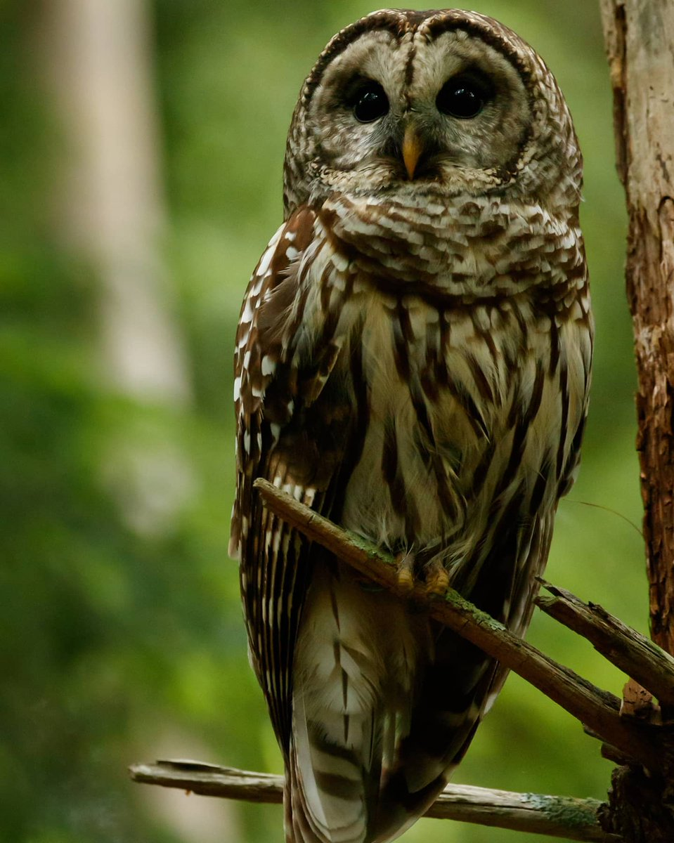 I spotted this beautiful Barred Owl while driving the Cades Cove Loop near dusk in The Great Smoky Mountains National Park. Did you know Great Horned Owls are Barred Owls' only natural enemy? #barredowl #birdsofprey  #wild  #roamtheplanet  #wildplanet #nationalparks #wildlifepic.twitter.com/qsKCogfTSB