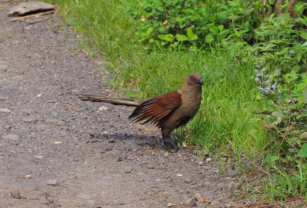 Andaman Coucal #natgeochallenge #YourShots #birds #birdsofindia #birdsofinstagram #NaturePhotographyDay #natureloverspic.twitter.com/t3rBmqOiev