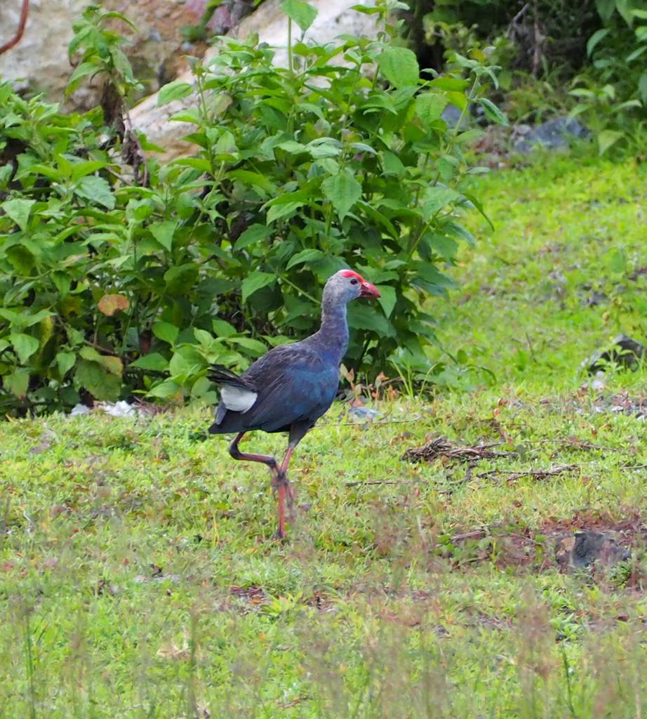 get Purple Moorhen #natgeoyourshot #naturephotography #yourshotphotography #NatGeoWild #yourshots #birdphotography #birdsofindia #BIRDSTORYpic.twitter.com/kLXWskSUKZ