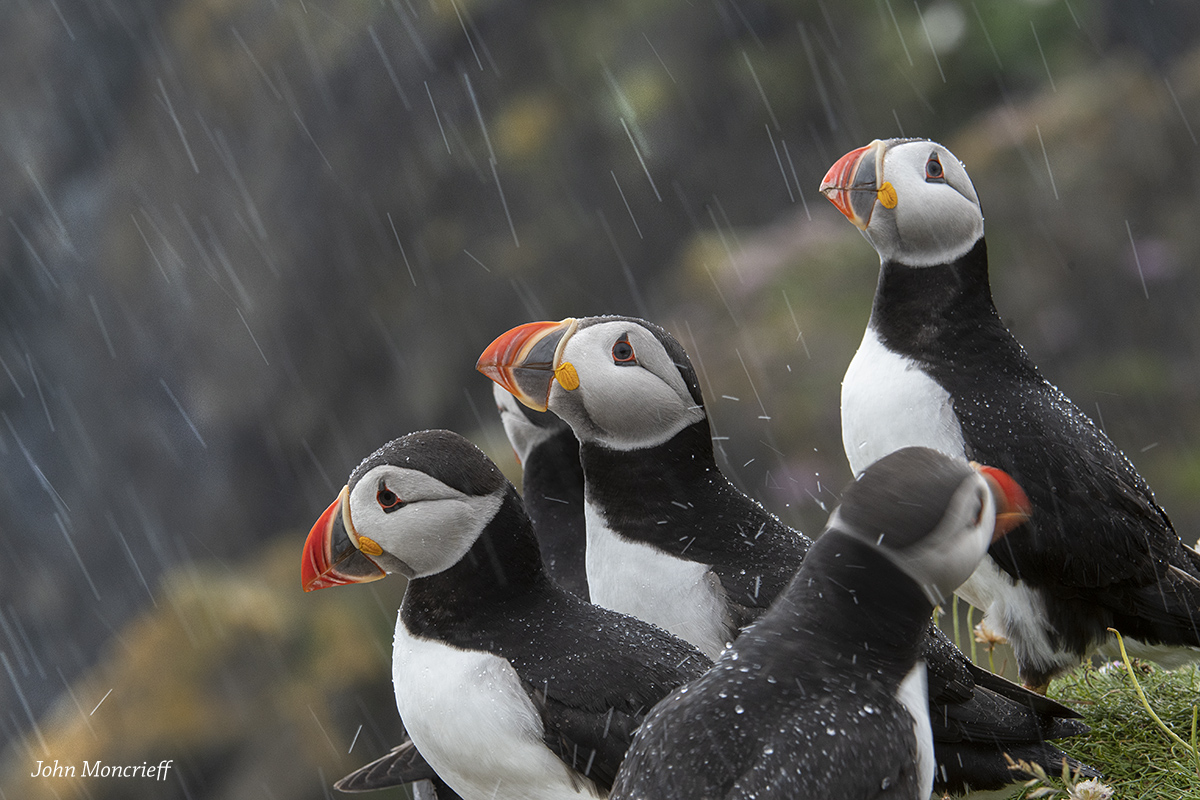 Puffins looking to the sky, wondering where summer went, and looking at the daft photographer with no waterproofs...
