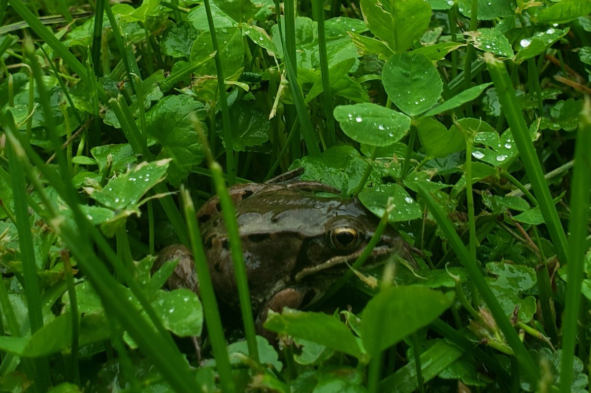 What kind of frog is this (Boreal Chorus Frog? Wood Frog? Columbia Spotted Frog? Or?)? Lots of them around our yard right now. s in Clear Hills County, Alberta; #CHCab in Canada's #PeaceCountry pic.twitter.com/X4MKvgNfJv