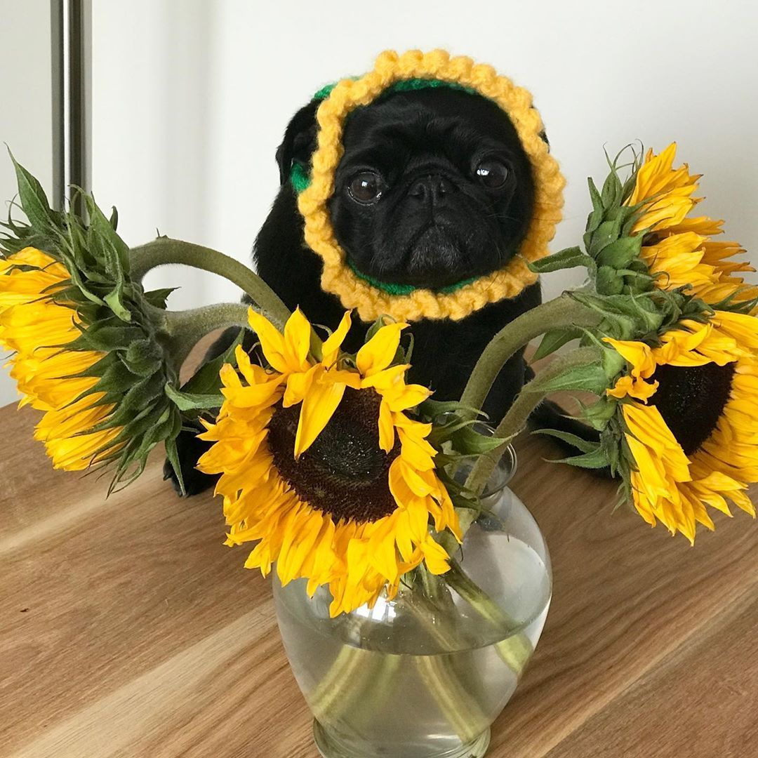 You're a sunflower I think your love would be too much🎵 📸 izzythepug1 | IG