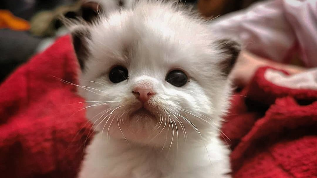 """Hi, Everyone!! Would you love to type """"So cute"""" for me?  #RagdollCats #ragdoll #Kittens #kitten #CatsOfTwitter #cats #pets<br>http://pic.twitter.com/WCWm3Wid53"""
