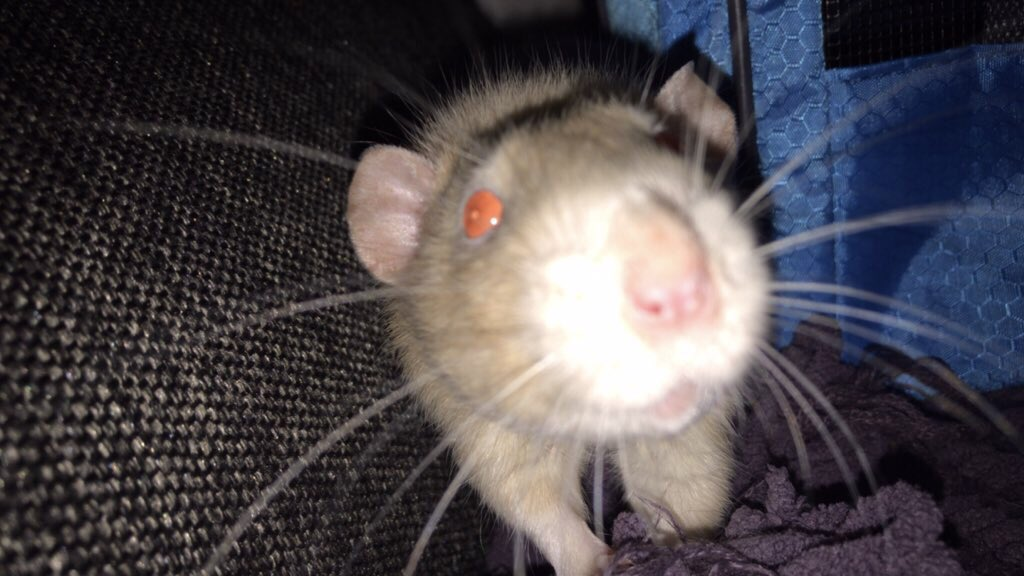 Last night was the hardest night I've had in a long time and I came home to see my poor baby shy guy had passed away in a terrible way 😔 I'm so hurt right now! RIP Shy Guy! Daddy loves you & 😭 We will see each other again one day soon in neverland with the rest of the lost boys https://t.co/SoHlKkPSiH