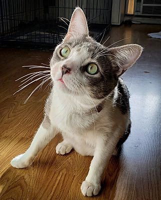 Gizmo loves to show off all of his fabulous whiskers!  Happy #whiskerswednesday everyone!  Today is his favorite day!  #LosAngeles #rescuecats #adoptme #WednesdayVibes #COVIDー19 #AdoptDontShop #cat #catstagram pic.twitter.com/V1DvxhxjnQ  by The Cat's Meow