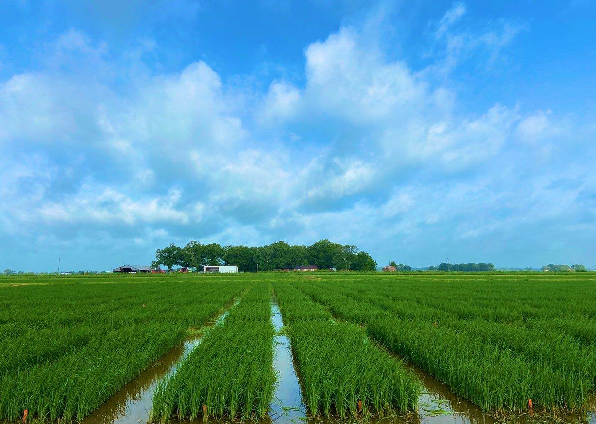 Rice trials in Rohwer/Arkansas ✅ #razorgrads #weedscience #UARK #UAEX https://t.co/Gqvmr5H80F