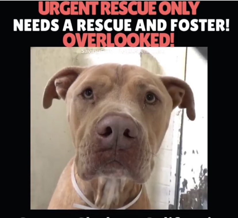 Hercules is only 1 year old, he has so much love to give, his notes say he likes to hold hands, please help me share him, he is losing weight and getting frustrated with shelter life 😓🙏🙏#adopt #rescue #foster #pledge #retweet ❤️#carsonshelter #California