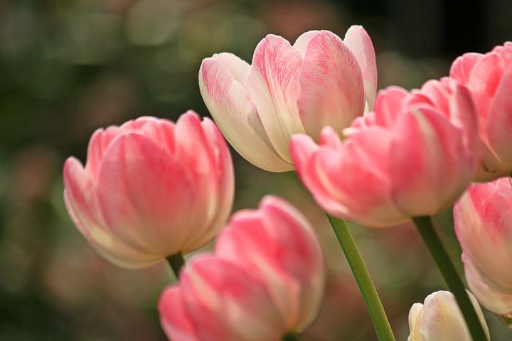 #Tulips- so pretty! They come in a variety of colours, generally red, pink, yellow, or white. my favourite being the pink. Although tulips are a perennial plant, many gardeners treat them as annuals as they can struggle to come back Year after year. #earlybiz #summerpic.twitter.com/1CTlLQAYqv