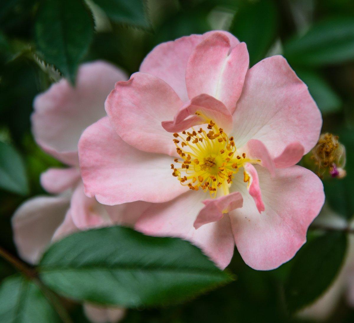 #lente #roses #NaturePhotography #myroses #flower #bloemen #photography #natuurfotografie #Flowers #photo #genieten #fleurs #garden #nature https://t.co/tfRQ3LAnFu