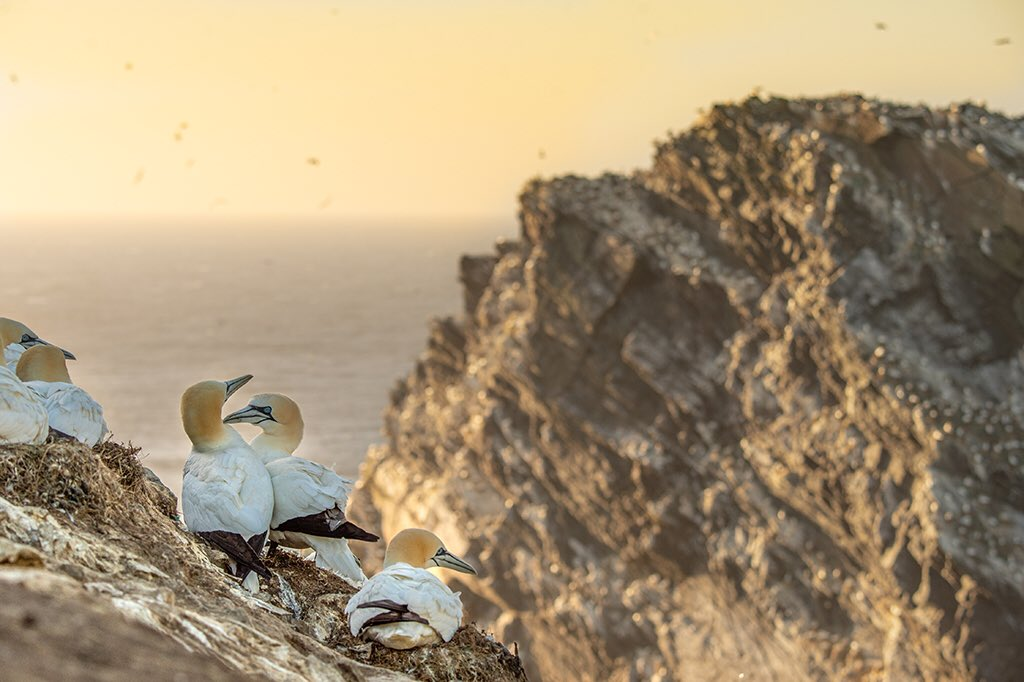 A room with a view, high-rise penthouse sweet, #Hermaness #shetland #Gannets