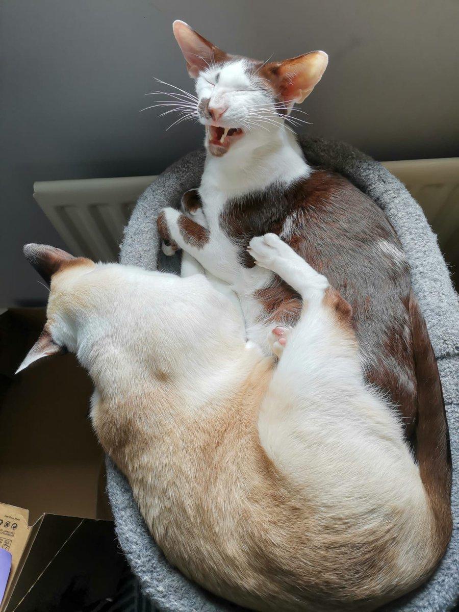 MUM!!! Groucho's kicking me  #CatsOfTwitter #meezerpic.twitter.com/kg0JcQsrC8