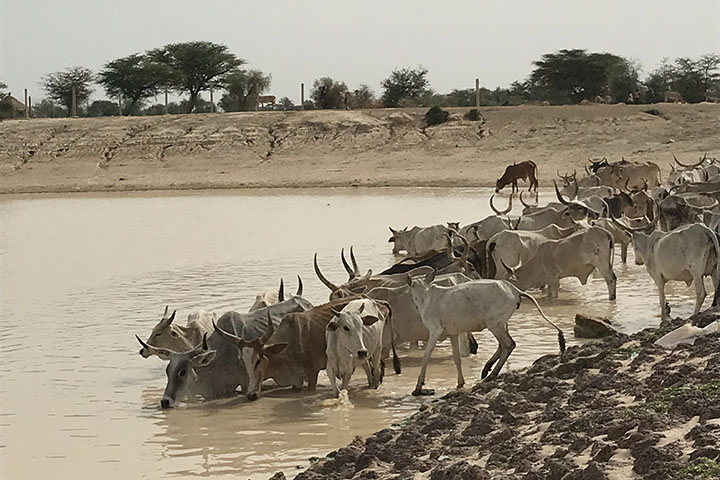 Satellites that scout watering holes may make it easier for nomadic herders in #Senegal to thrive during the dry season. earthobservatory.nasa.gov/images/146490/…
