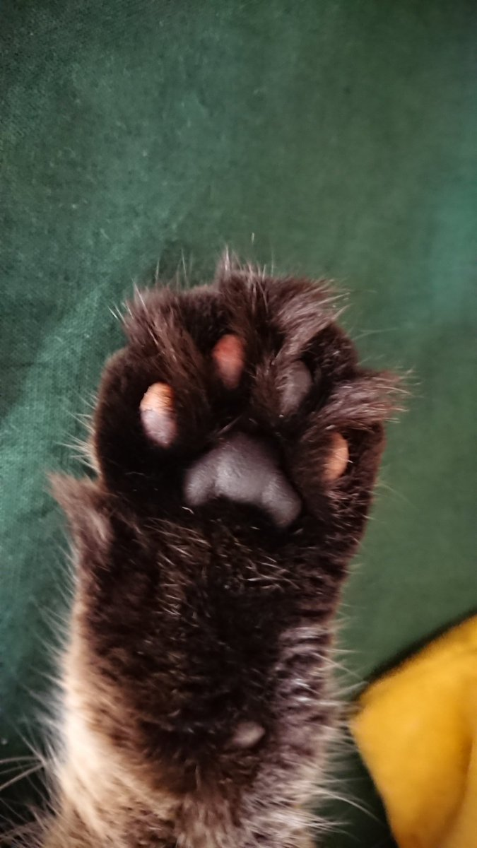 I've had my cat. 4 years and only today have i noticed he's got multi-coloured toe beans.  Too much 😍 😍 😍 😍 😍  #murdermittens #paws #toebeans #catspaws #caturday #CatsOfTwitter https://t.co/oUFnPTuUEp