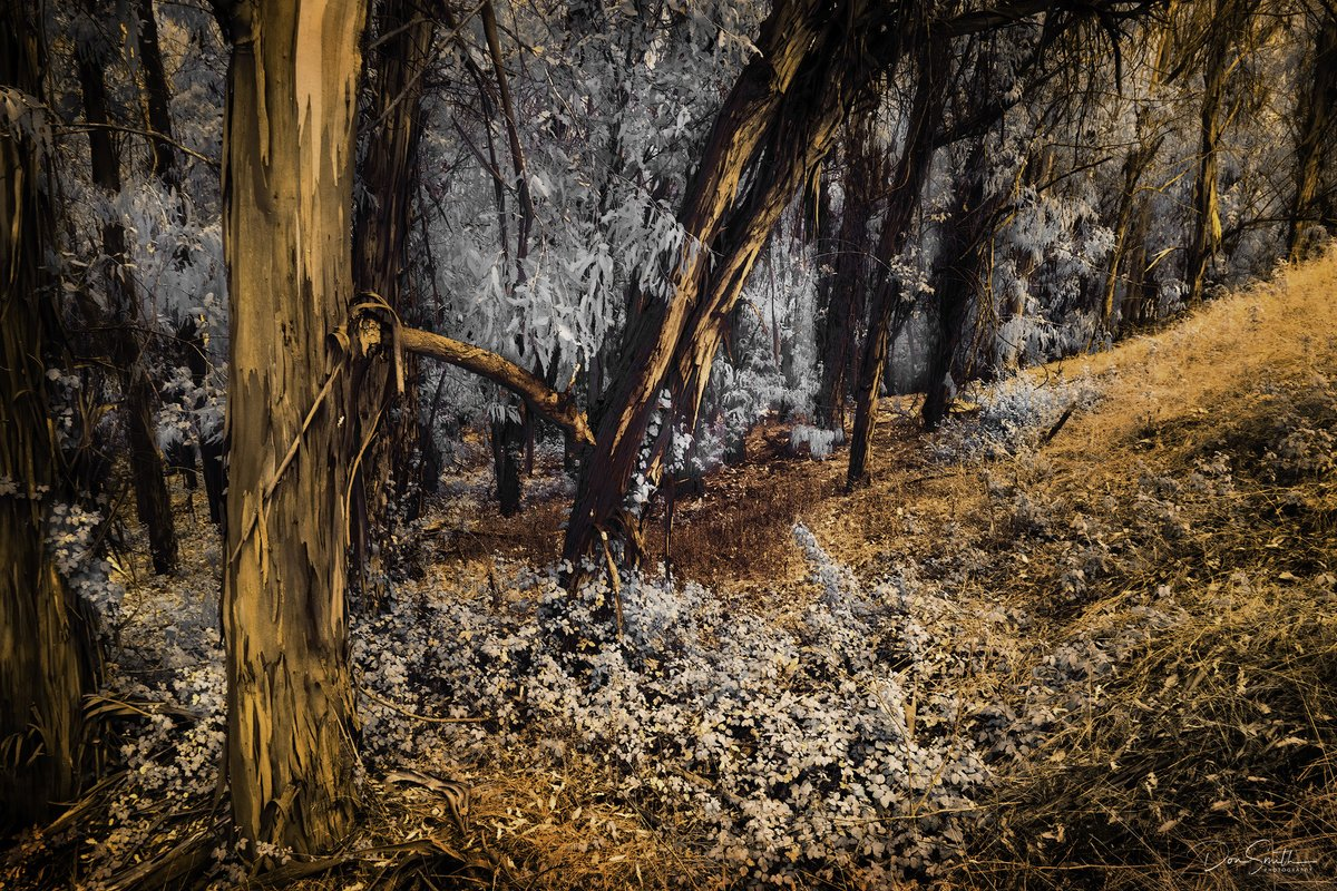 """I spent a half-day working through various """"False Color Infrared"""" images yesterday. NOTE: these images are not captured with a normal color digital camera.  #bealpha #montanadeorostatepark #singhrayfilters #infrared #mirrolessinfrared #morrobay #eucalyptus #falsecolorinfraredpic.twitter.com/9wuiUNDBfl"""