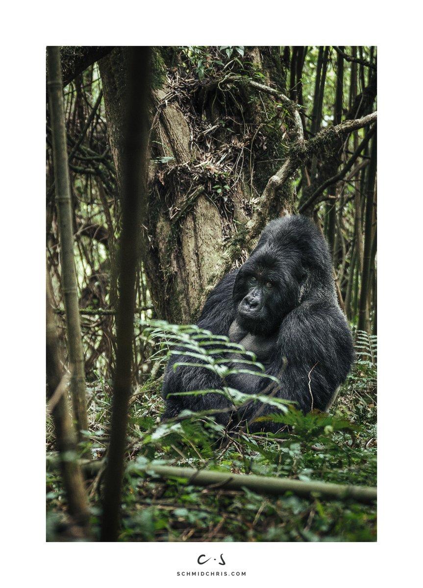 A Meeting with the Boss. Mutual respect is the foundation of genuine harmony.  #Silverback #Gorillas #GreatApes #wildlifephotography #natgeo #Virunga #Uganda #wildlife #sonya9 #bealpha #sonyalpha #alphapro @SonyCHAT @SonyAlpha @SonyUK @SonyDeutschland @WildAid @WildAidAfricapic.twitter.com/ZWlcuDIS87