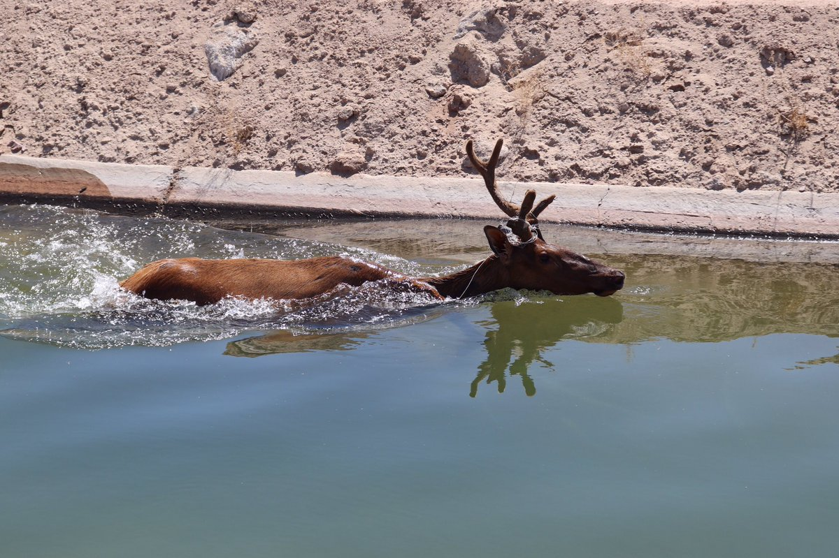 How do you get an elk out of a canal? Very carefully! 😆 A Wellton, AZ farmer called AZGFD's Region 4 (#Yuma) office on Tuesday to report an elk stuck in a nearby canal.
