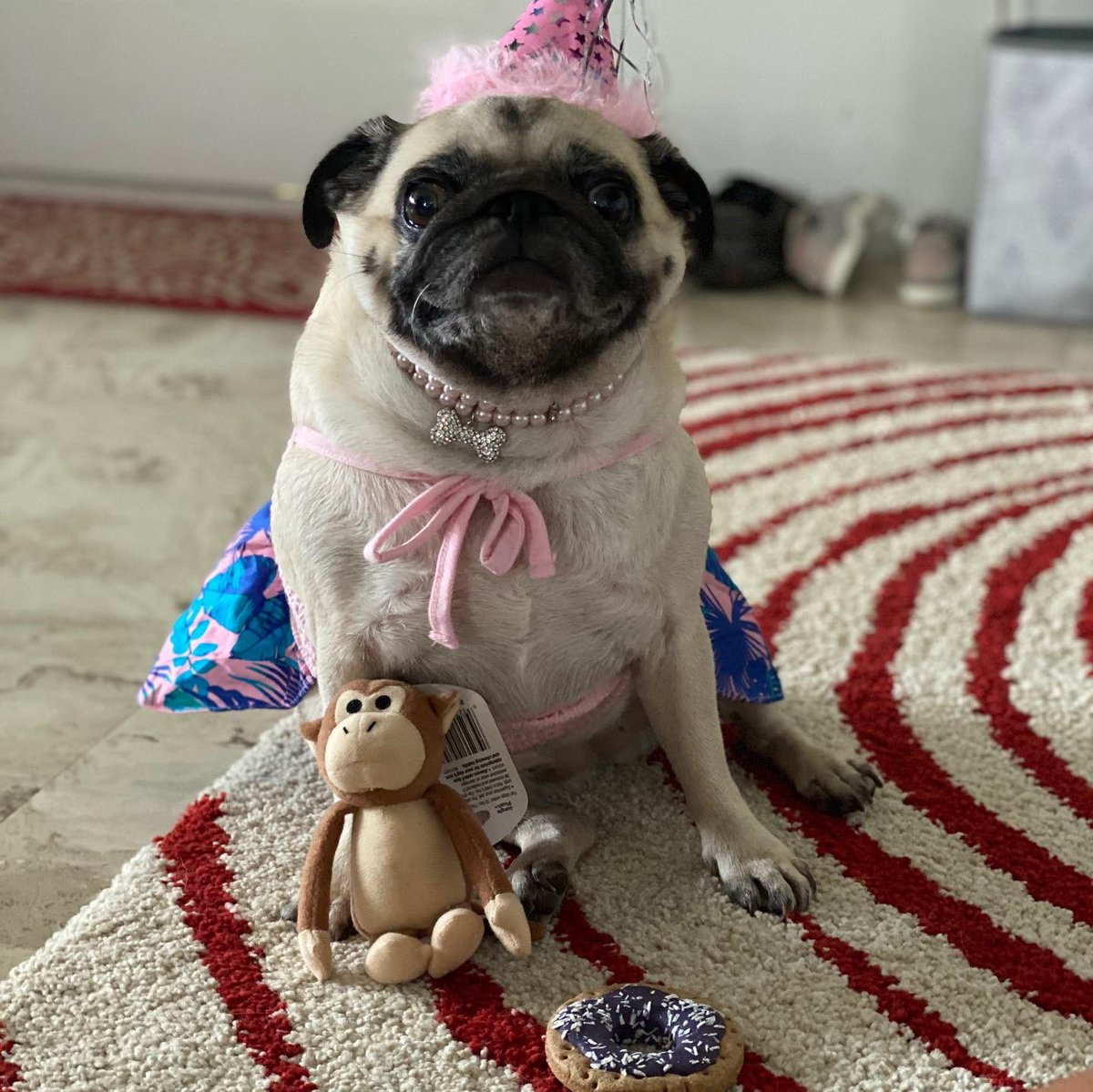 Aloha friends!!! It was my birthday yesterday. I'm 5 years old  woohoo!!! #puglife #dogsofinstagram #dogsoftwitter #pugs #happybarkday<br>http://pic.twitter.com/snDiN0OEUd