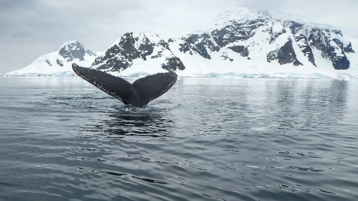 Bevarandet av den biologiska mångfalden i Antarktis är en prioriterad fråga. I november 2020 kommer Sverige med GD Jakob Granit på @havochvatten axla rollen som ordförande i kommissionen för bevarande av levande marina tillgångar i Antarktis, #CCAMLR @ccamlr1