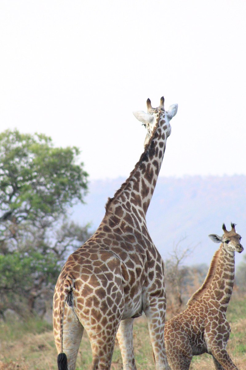Giraffes are one of the beauties Akagera has which you will never get tired of seeing. #VisitRwanda #Nature #Rwandalicious #Akagera https://t.co/n0DbACyaGO